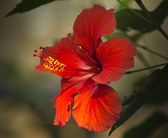 Hibiscus Helps Grow Hair