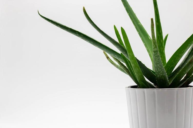 Benefits Of Aloe Vera On Hair- Aloe Vera Plant on Side
